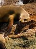Lounging on the rocks - Sea Lion off the Isla Espiritu Santo - Baja California Sur, mexico