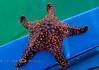 huge Star Fish found while Snorkeling around Isla Espiritu Santo, Baja California Sur, Mexico - No We did NOT keep it