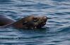 Sea Lion swimming out to inspect our boat - Isla Espiritu Santo, Baja California Sur, Mexico