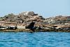 Giant Sea Lions off the Isla Espiritu Santo, Baja California Sur, Mexico