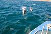 Boating thru a Giant School of Dolphin - Isla Espiritu Santo, Baja California Sur, Mexico
