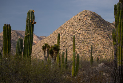 The giant Cardon cactus is one of the dominant plants of many of the deserts of the region.