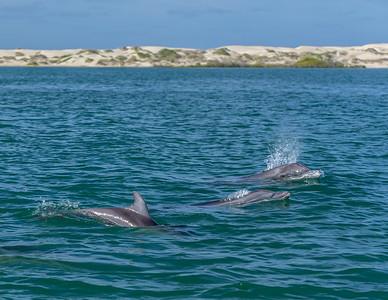 Bottlenose dolphins (Tursiops truncatus) in Boca de Soledad (aka Hull Canal) located just south La Entrada, the entrance into the Pacific Ocean.  Baja California Sur, Mexico.