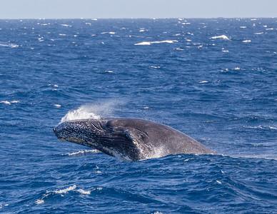 A breaching humpback whale (Megaptera novaeangliae) in the Sea of Cortez.  Baja California Sur,  Mexico.