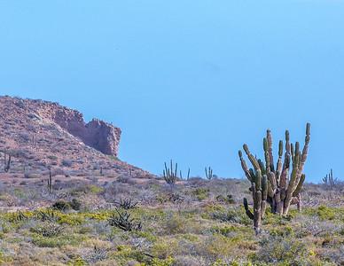 Mexican Giant Cardón cacti (Pachycereus pringlei). Cardón, aka elephant cacti, are related to Saguaro cacti (Carnegiea gigantea) and are the tallest cactus species in the world (maximum recorded height of 63').    Isla Espíritu Santo.  Sea of Cortez.  Baja California Sur, Mexico.