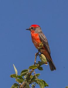 A male Vermilion Flycatcher (Pyrocephalus rubinus).  San Jose del Cabo, Baja California Sur, Mexico