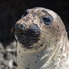 You have to feel sorry for moulting Elephant Seals!