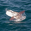 A breaching Ocean Sunfish (1 of 2)