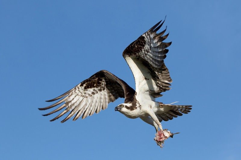 An Osprey bringing a part-eaten fish to its nest on Shelter Island, San Diego