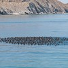 A huge congregation of Eared Grebes - now you see them.......