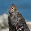 A Guadalupe Fur Seal being annoyed by a fly!