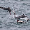 Brown Pelicans and Shearwaters join the feeding frenzy