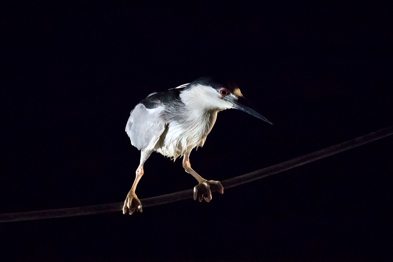 A Black-crowned Night Heron watching for fish on the bait-fish platform