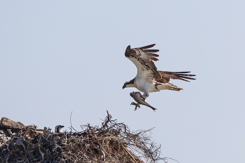 Bringing food to its quite mature chick