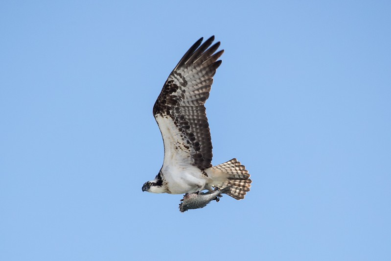 Adult Osprey carrying a part-eaten fish to its chick
