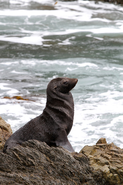 Guadeloupe Fur Seal