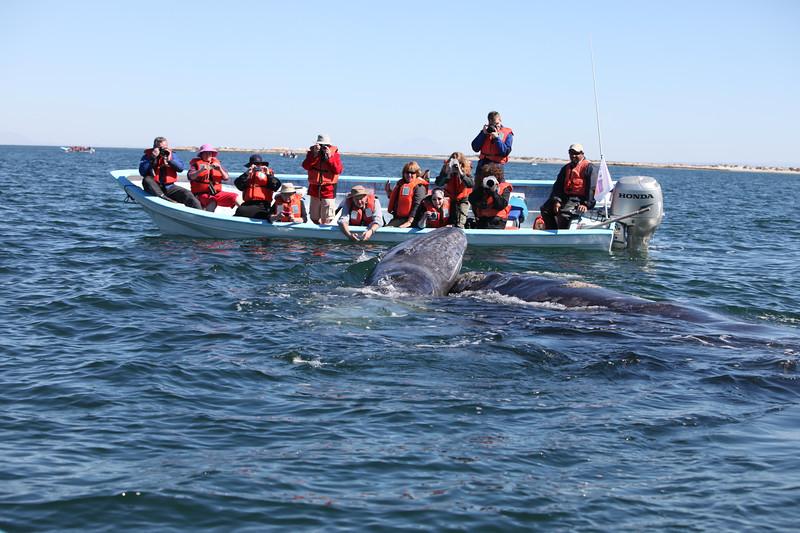 Grey Whale watching in San Ignacio Lagoon