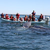 Grey Whale watching in San Ignacio Lagoon