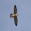 A Peregrine Falcon flying over Punta Colorada on Isla San Jose