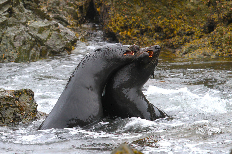 Guadeloupe Fur Seals