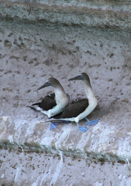 Blue-footed Boobies on the rocks at Punta Colorada on Isla San Jose