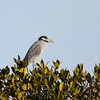 Yellow-crowned Night Heron in San Ignacio lagoon
