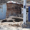 Northern Elephant Seal in a fisherman's hut on Isla San Benito