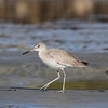 Willet in San Ignacio lagoon