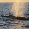 Fin Whale at sunset