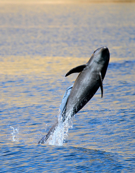 Common Bottlenose Dolphin off Isla San Jose with a large Remora attached