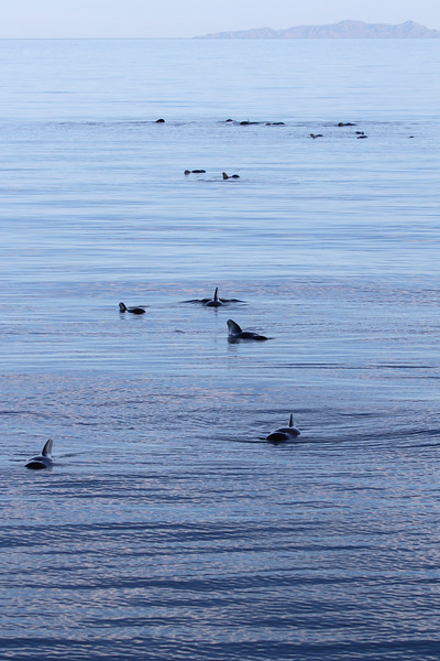 Logging Short-finned Pilot Whales