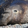 Northern Elephant Seal bull on Isla San Benito