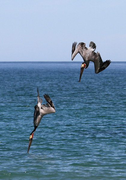 Brown Pelicans diving for fish off Isla San Jose