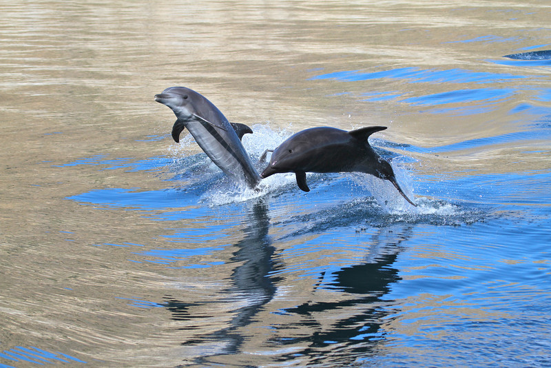 Common Bottlenose Dolphins off Isla San Jose
