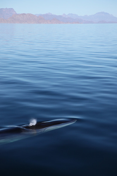This Fin Whale swam gently next to the boat for over an hour.