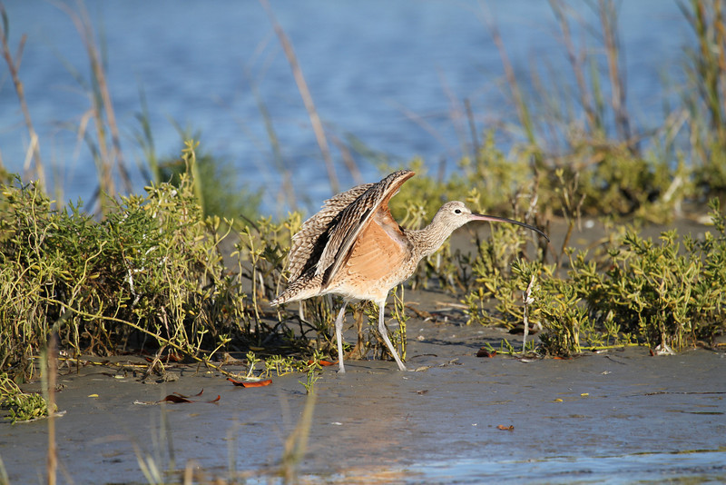 Long-billed Curlew in San Ignacio lagoon