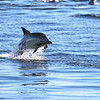 Common Bottlenose Dolphin off Isla Santa Catalina