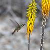 Xantu's Hummingbird