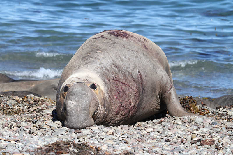 Northern Elephant Seal bull on Isla San Benito with many wounds from fighting
