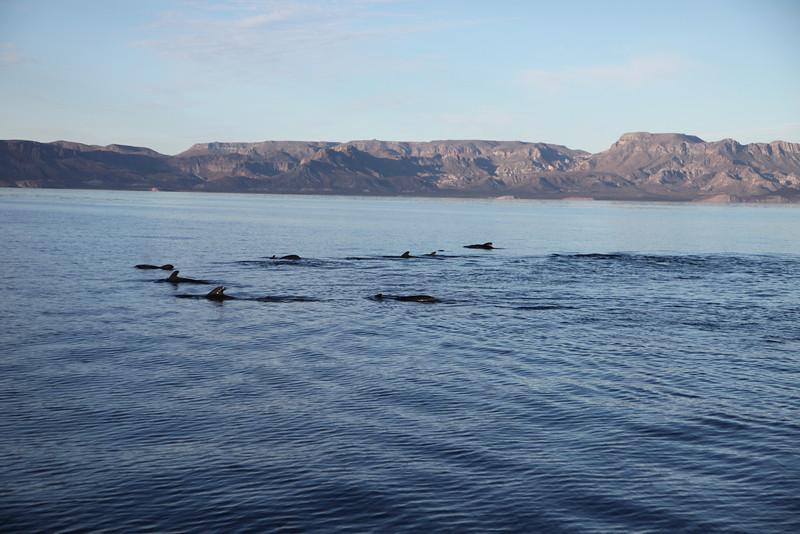 Short-finned Pilot Whales