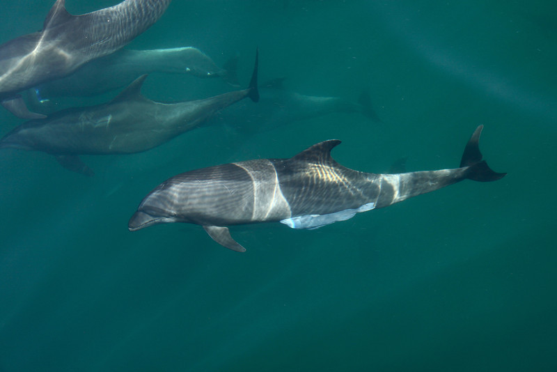 Common Bottlenose Dolphins off Isla San Jose, one with a large Remora attached