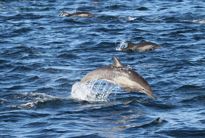 Common Bottlenose Dolphins off Isla Santa Catalina