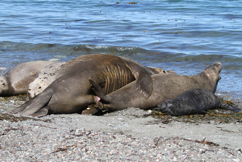 Northern Elephant Seal bull on Isla San Benito mating with a female while she still has a tiny pup