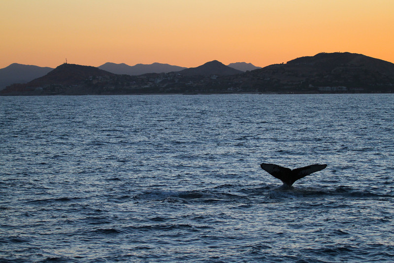 Humpback Whale Gorda Bank