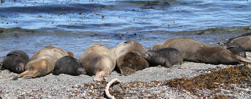 Northern Elephant Seal mothers and pups on Isla San Benito