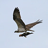 An Osprey returning to its nest with a catch