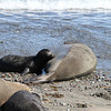 Northern Elephant Seal mother and pup on Isla San Benito