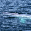 Blue Whale off Isla San Jose