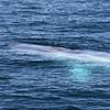 Blue Whale off Isla San Jose