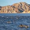 Huge numbers of Common Dolphins in front of Isla San Jose